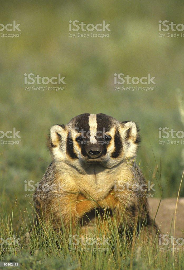 Curious badger stock photo