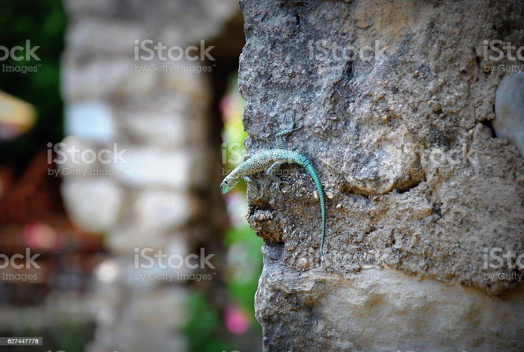 Curious balkan lizard stock photo