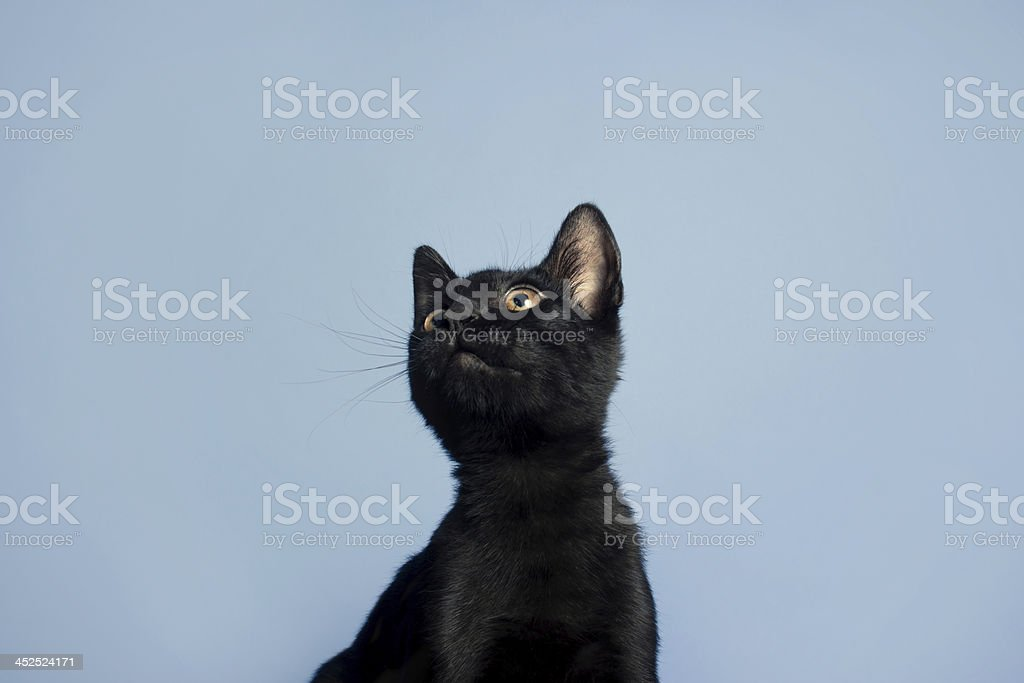 Curious Black Kitten on Blue Background stock photo