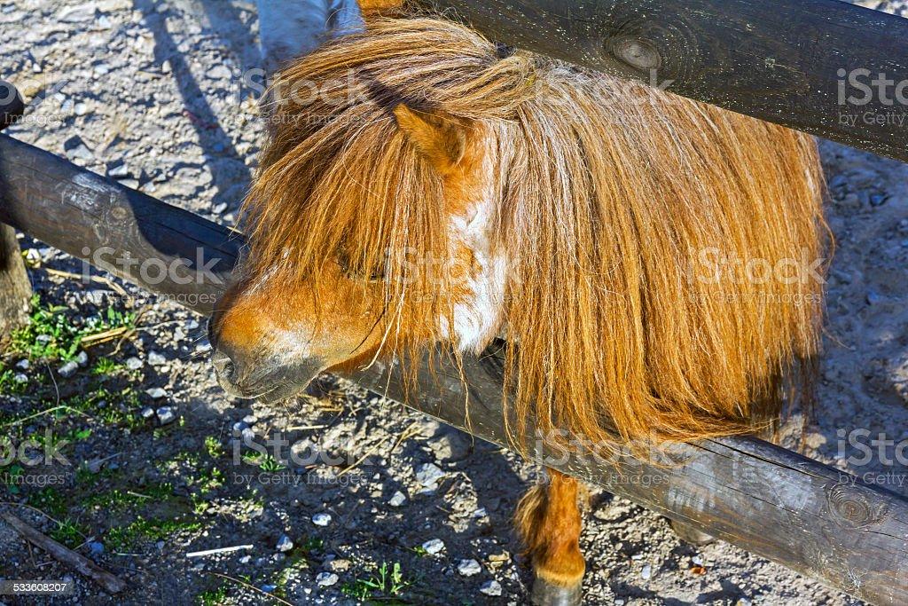 Curious brown ponny stock photo