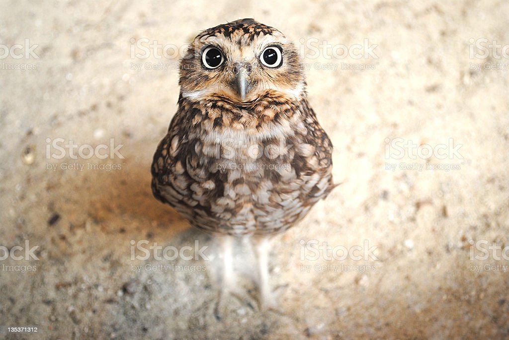 Curious burrowing owl with big eyes staring at the camera royalty-free stock photo
