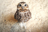 Curious burrowing owl with big eyes staring at the camera