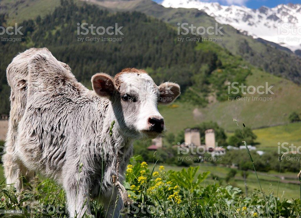 Curious calf in caucasus stock photo
