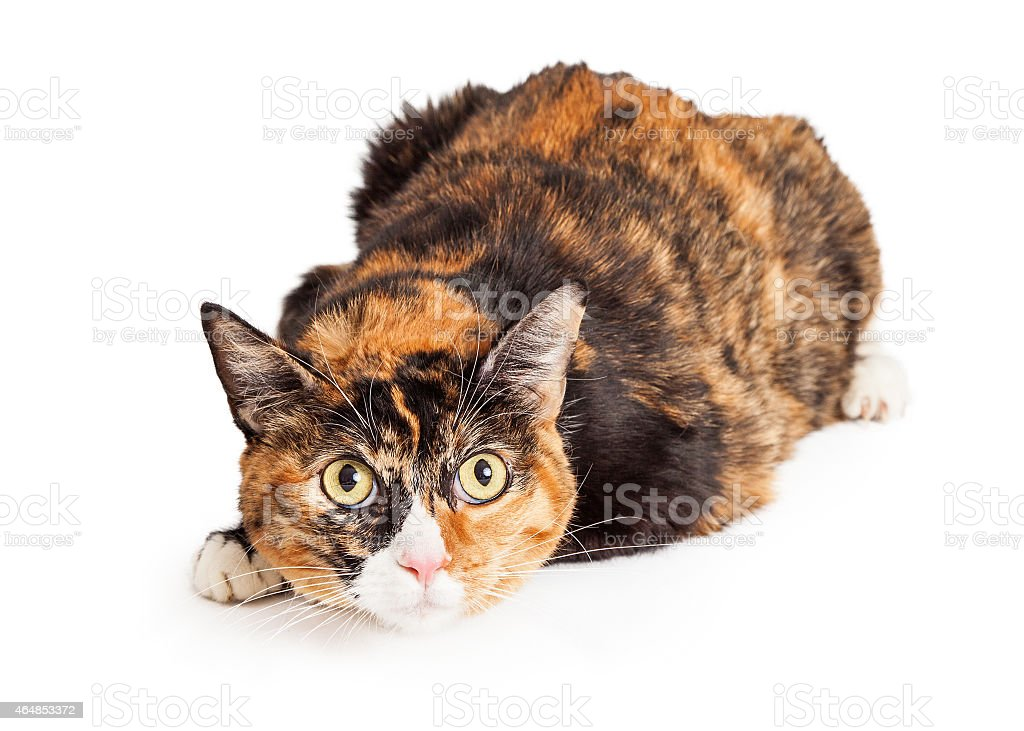 Curious Calico Cat Laying stock photo