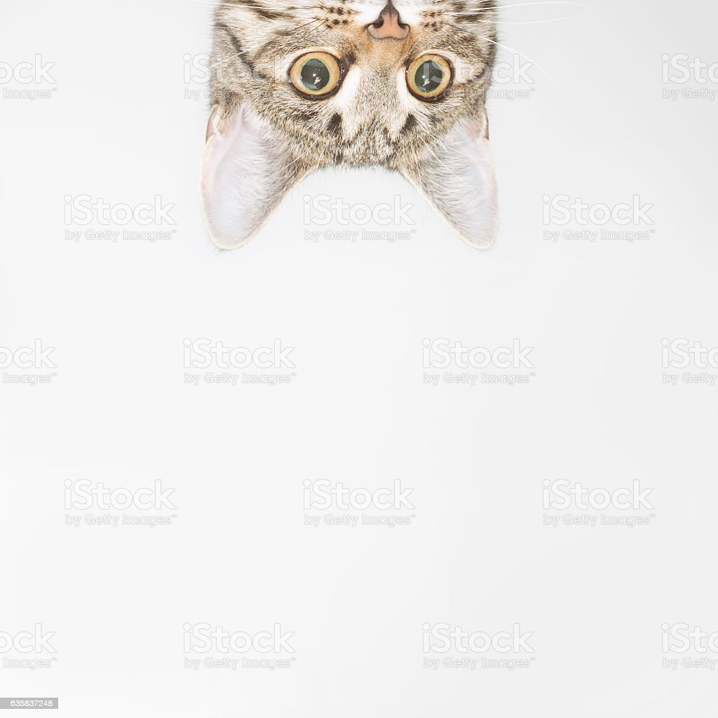 Curious cat face looking out over the edge stock photo