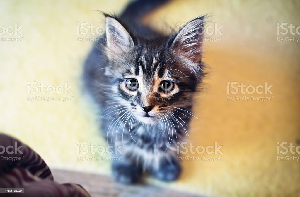Curious Cat looking directly at the camera stock photo