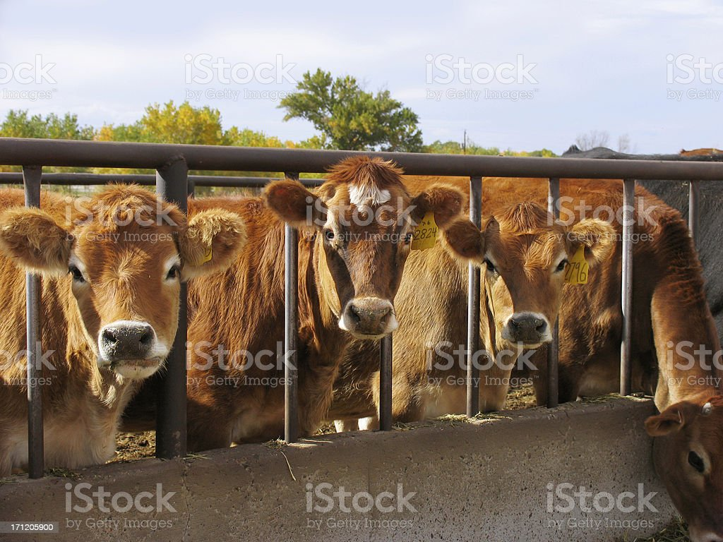Curious Cattle Lineup stock photo