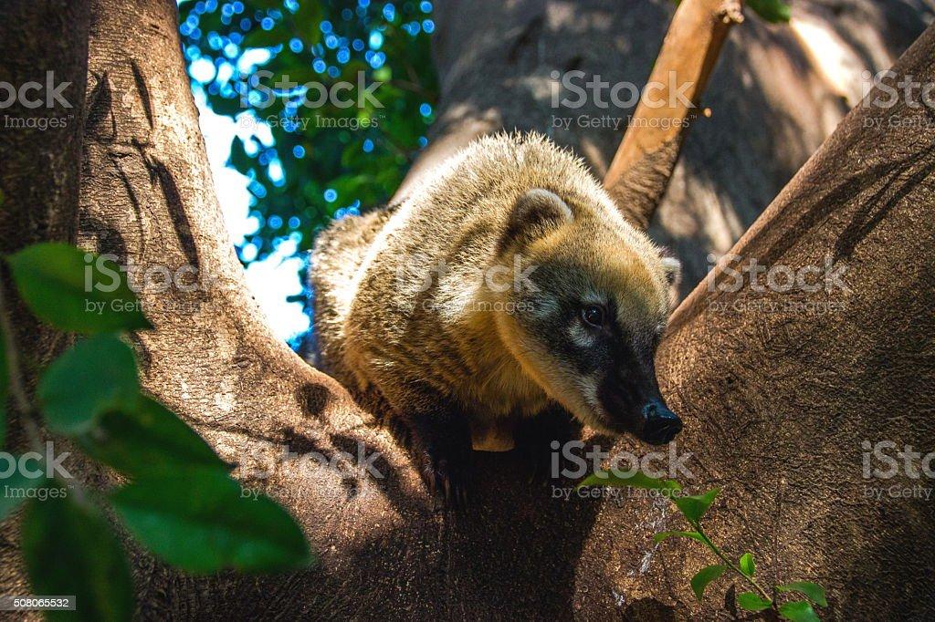 curious coati stock photo