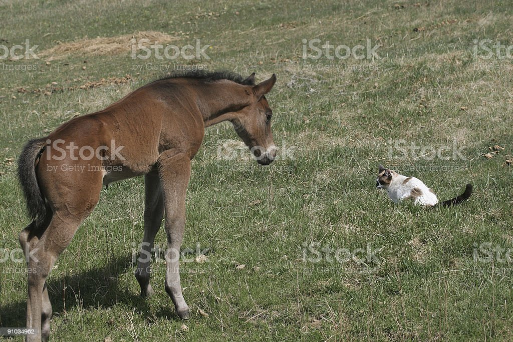curious colt royalty-free stock photo