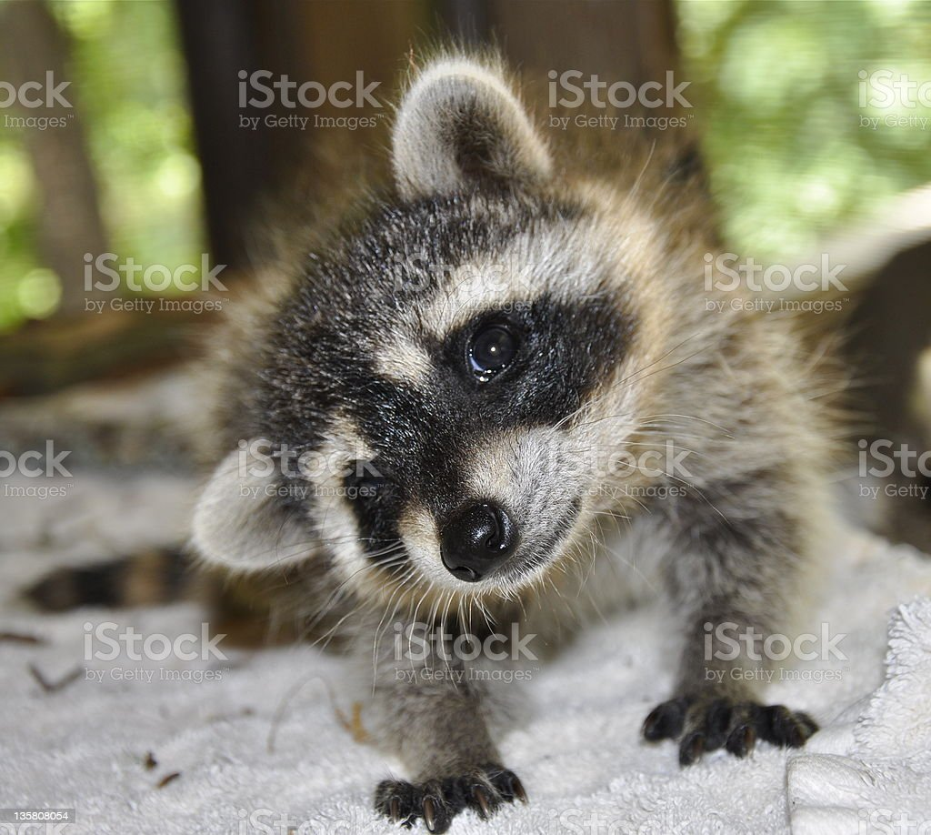 Curious Coon stock photo