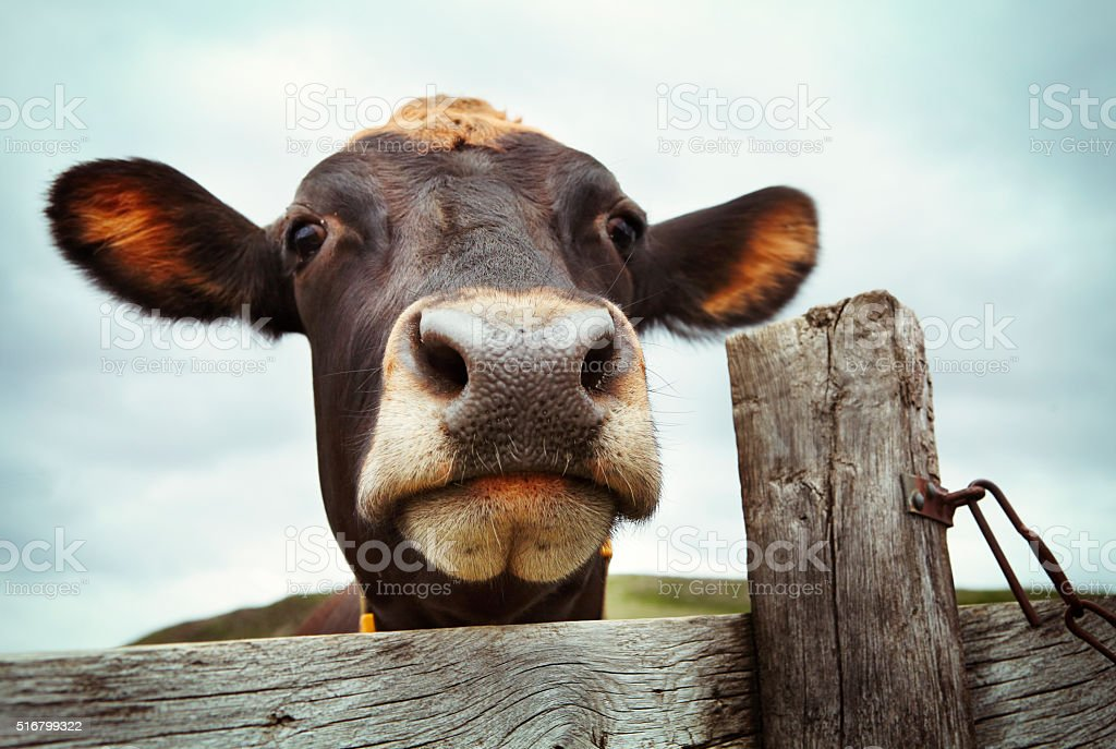 Curious cow behind wooden fence stock photo