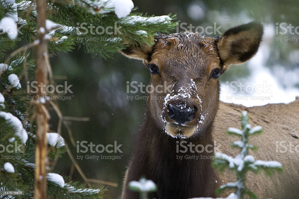 Curious Cow Elk royalty-free stock photo