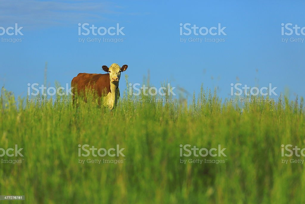 Curious Cow in the meadow - estancia in pampa gaúcho stock photo