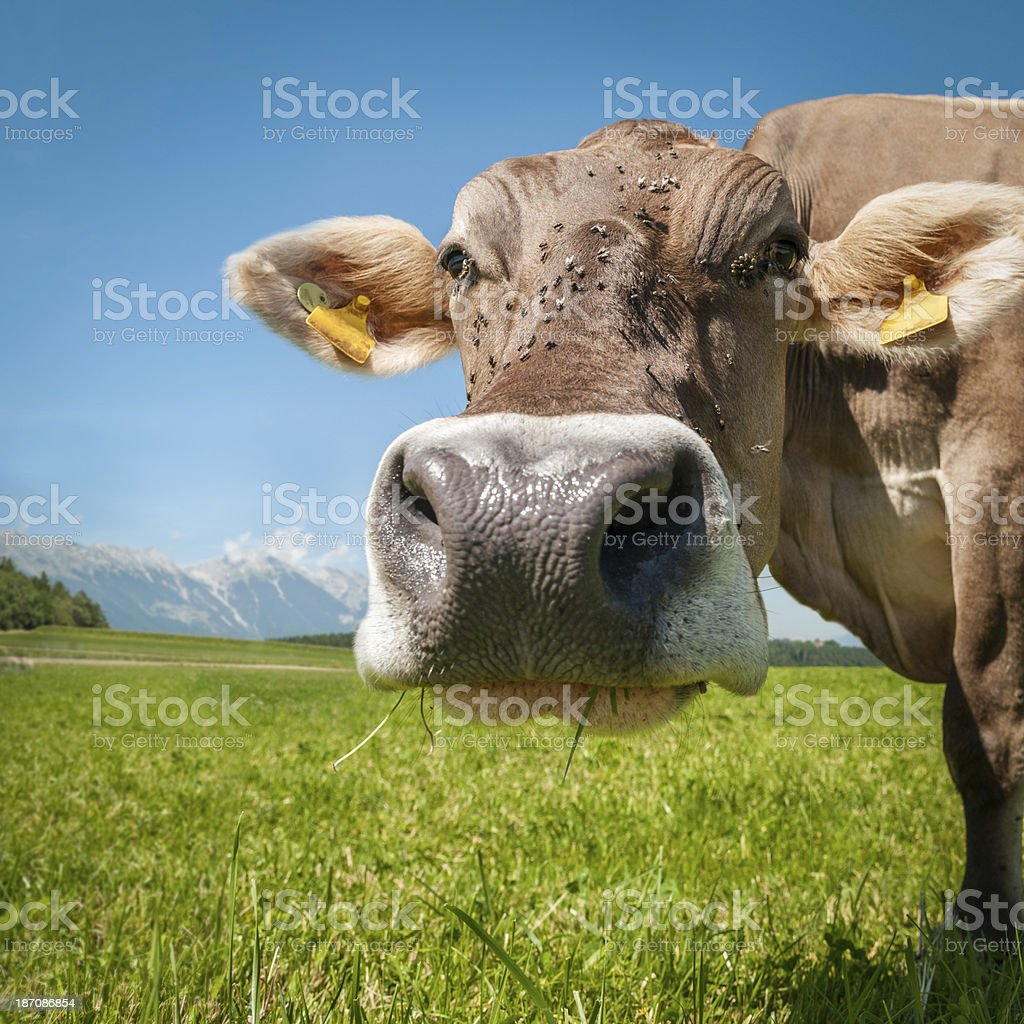 Curious cow looking into the camera royalty-free stock photo