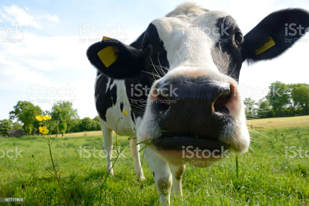 Curious Cow on a meadow with buttercups under blue sky stock photo