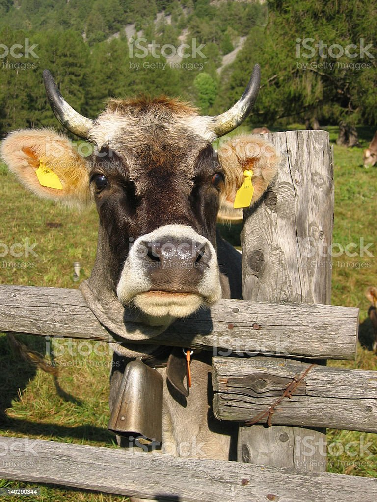 Curious Cow royalty-free stock photo