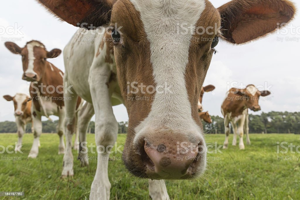 Curious cows in Dutch pasture royalty-free stock photo