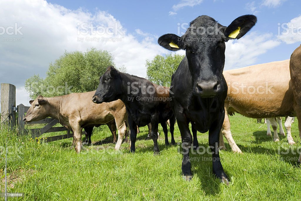 Curious cows in meadow royalty-free stock photo