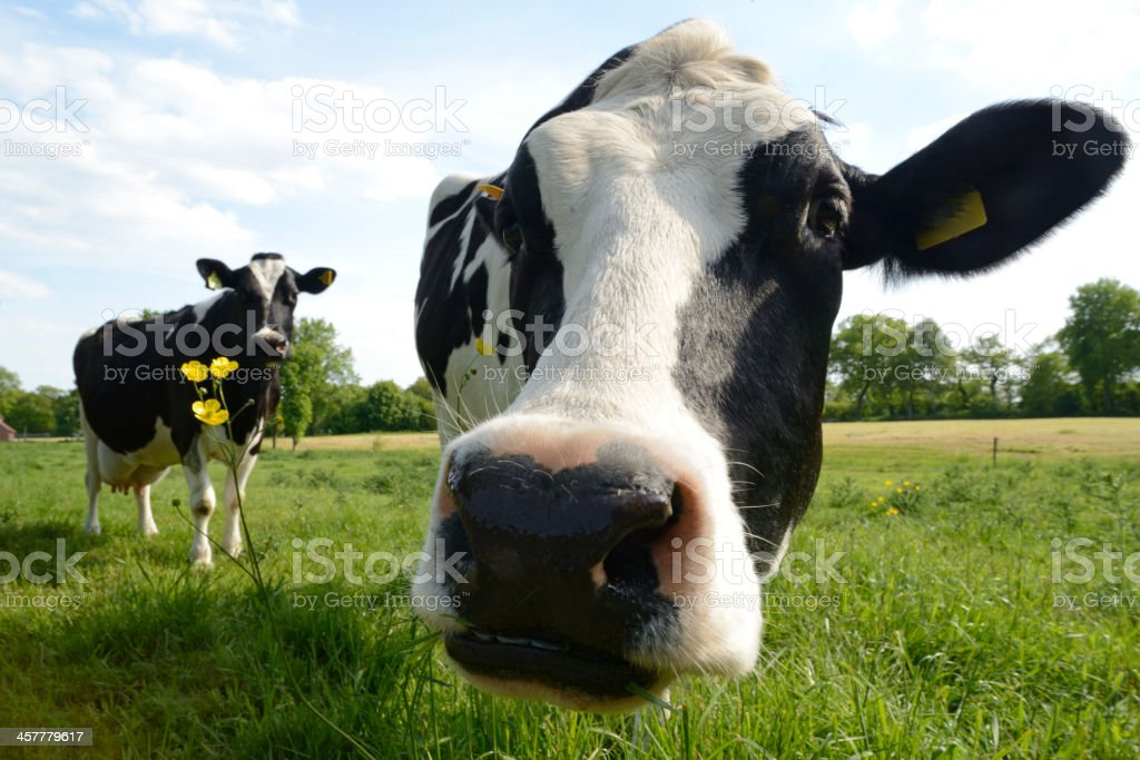 Curious Cows on a meadow with buttercups under blue sky stock photo