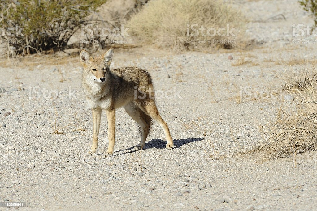 Curious Coyote in the wild stock photo