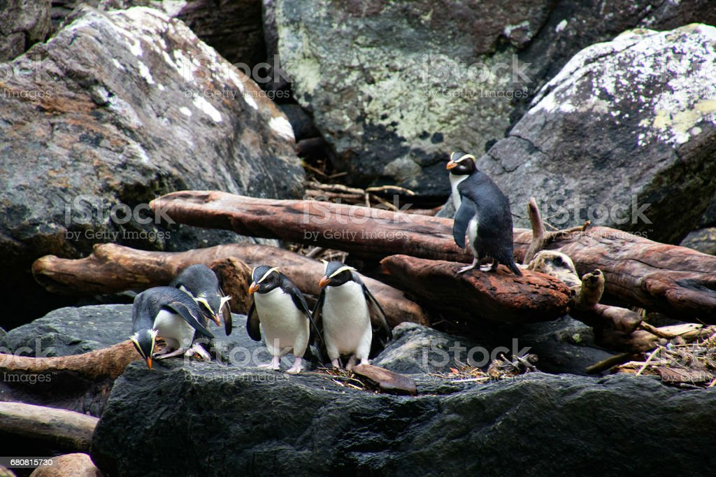 Curious Crested Penguins at Milford Sound stock photo