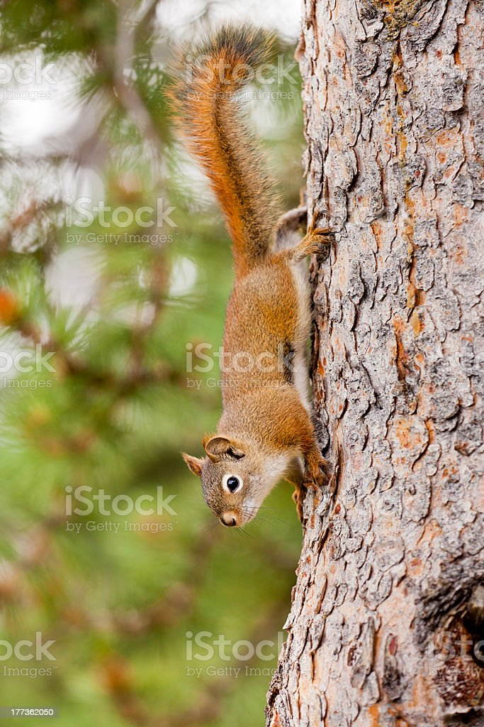 Curious cute American Red Squirrel climbing tree royalty-free stock photo