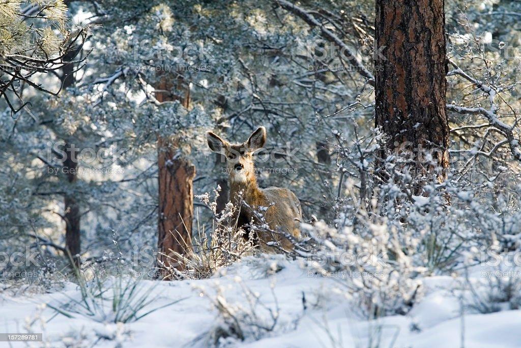 Curious Doe Mule Deer in Deep Colorado Snow royalty-free stock photo