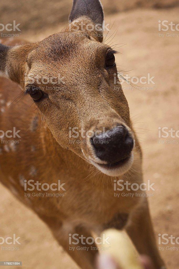 curious doe stock photo