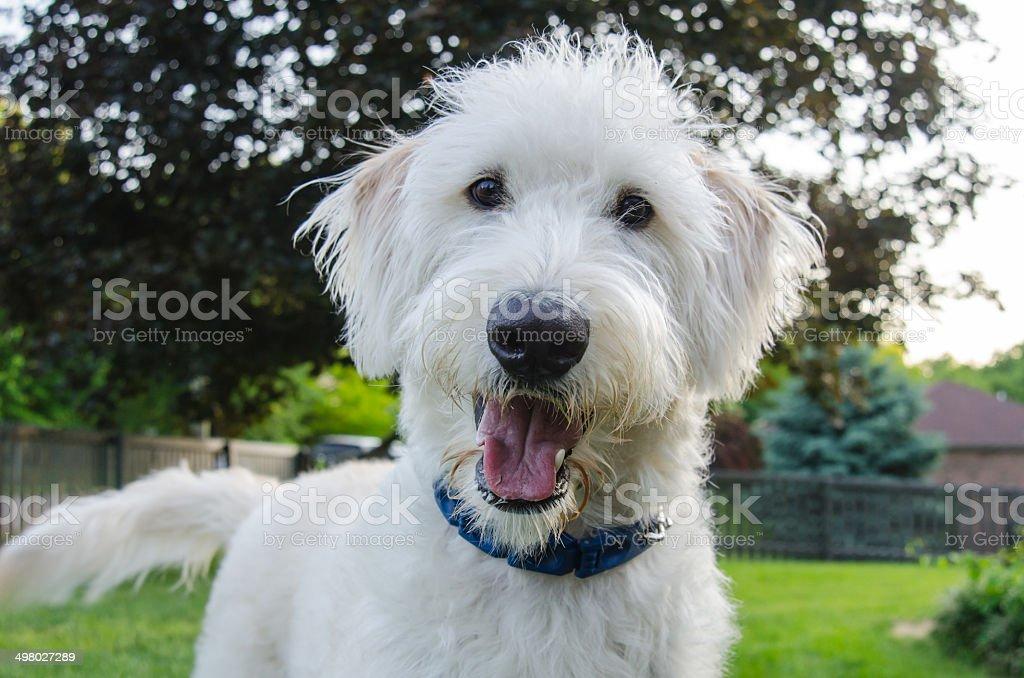 Curious Dog Looks at Camera stock photo