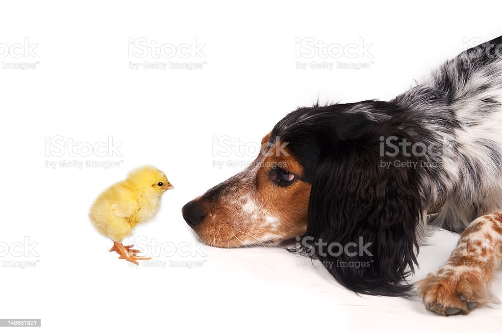 Curious dog with chick          (© Lobke Peers) royalty-free stock photo