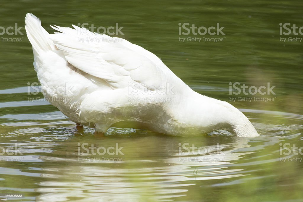 Curious domestic white goose bending in water stock photo