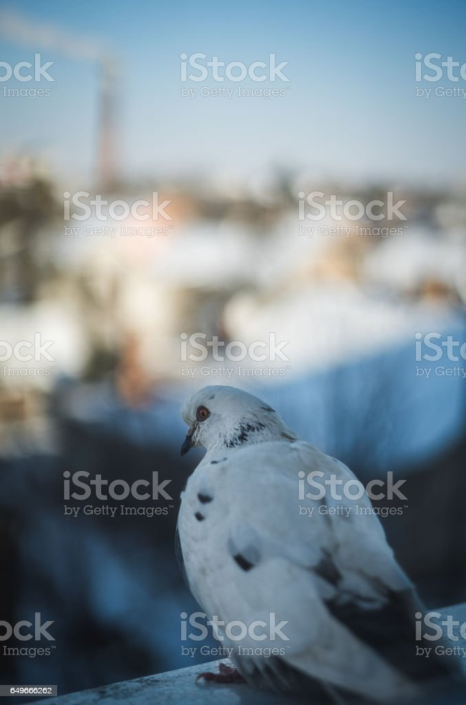 Curious dove looking from the window sill stock photo