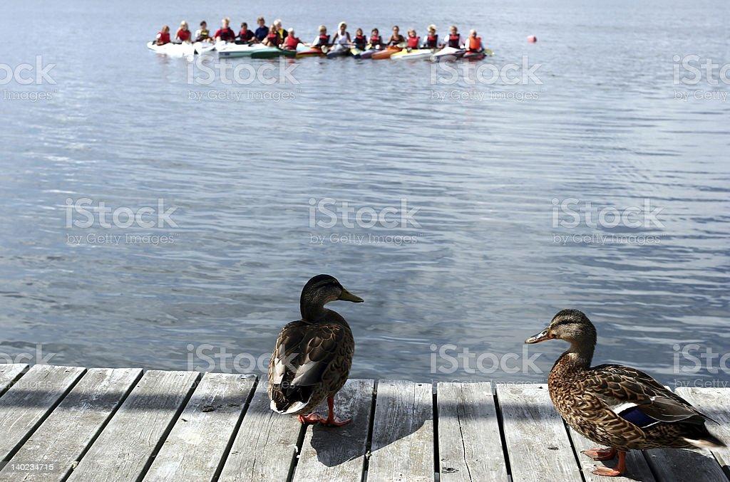 curious ducks royalty-free stock photo