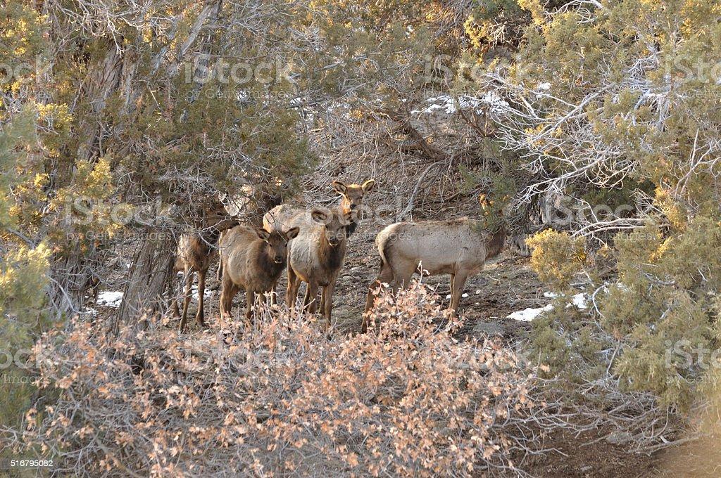 Curious Elk Calves looking through cedars stock photo