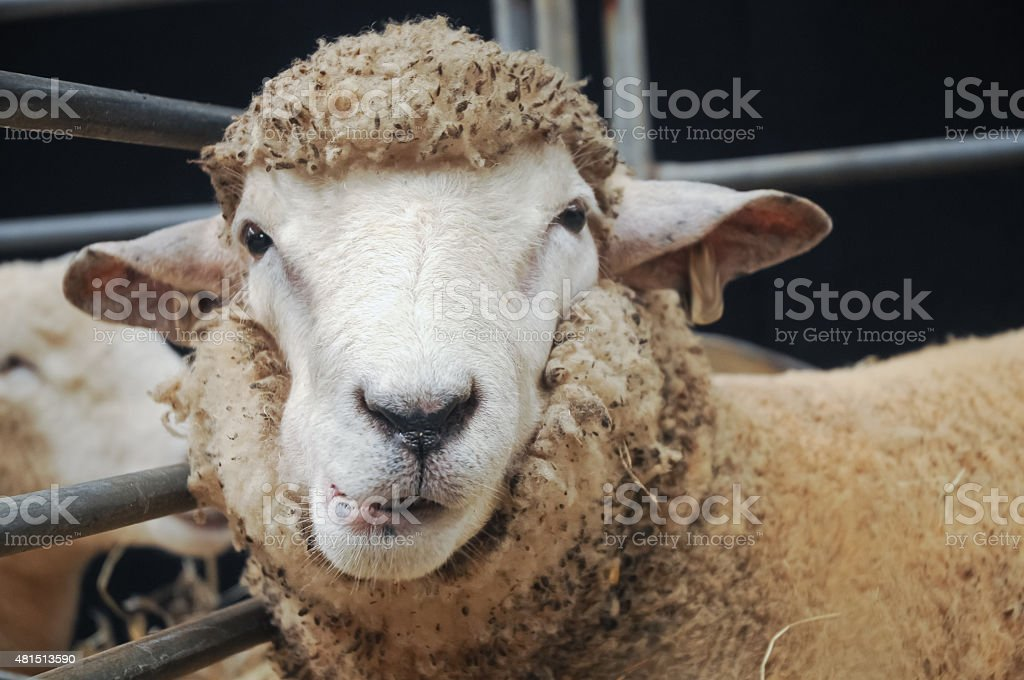 Curious face of young sheep stock photo