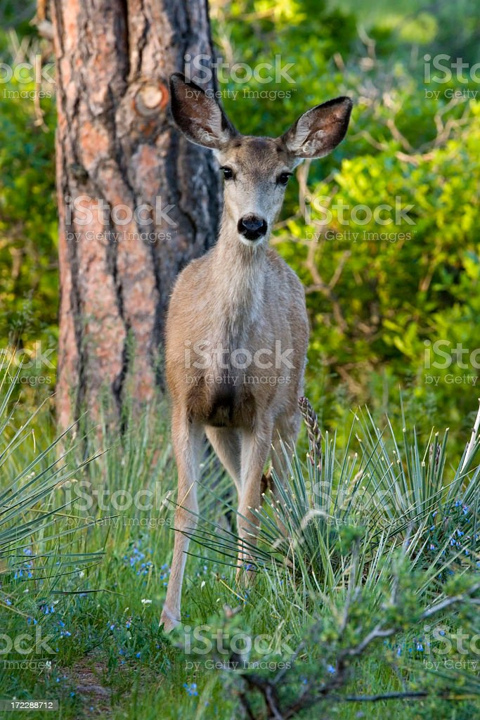 Curious Fawn royalty-free stock photo