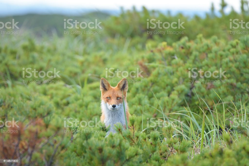 Curious fox in the bushes, Sakhalin Island, Russia. stock photo