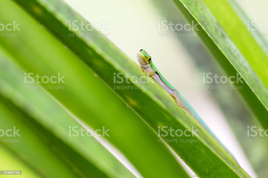 Curious Gecko stock photo