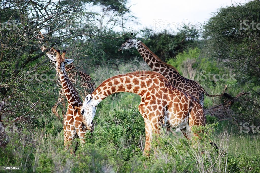 Curious Giraffe in the Masai Mara in Kenya stock photo
