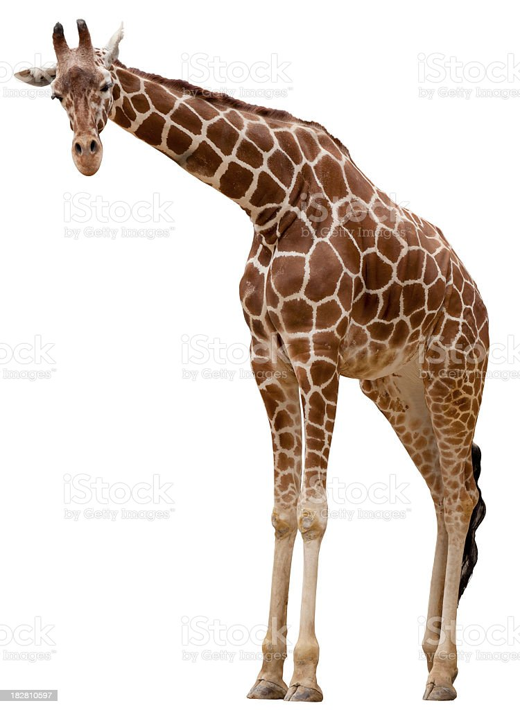 Curious giraffe stock photo