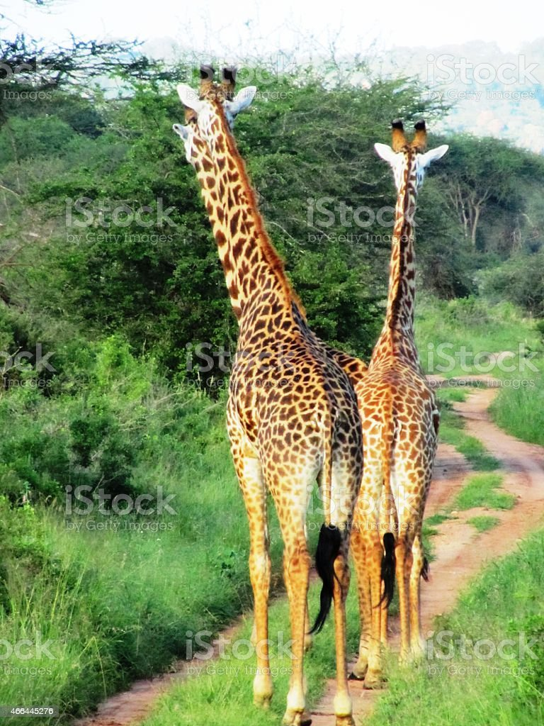 Curious Giraffes in the Masai Mara in Kenya stock photo