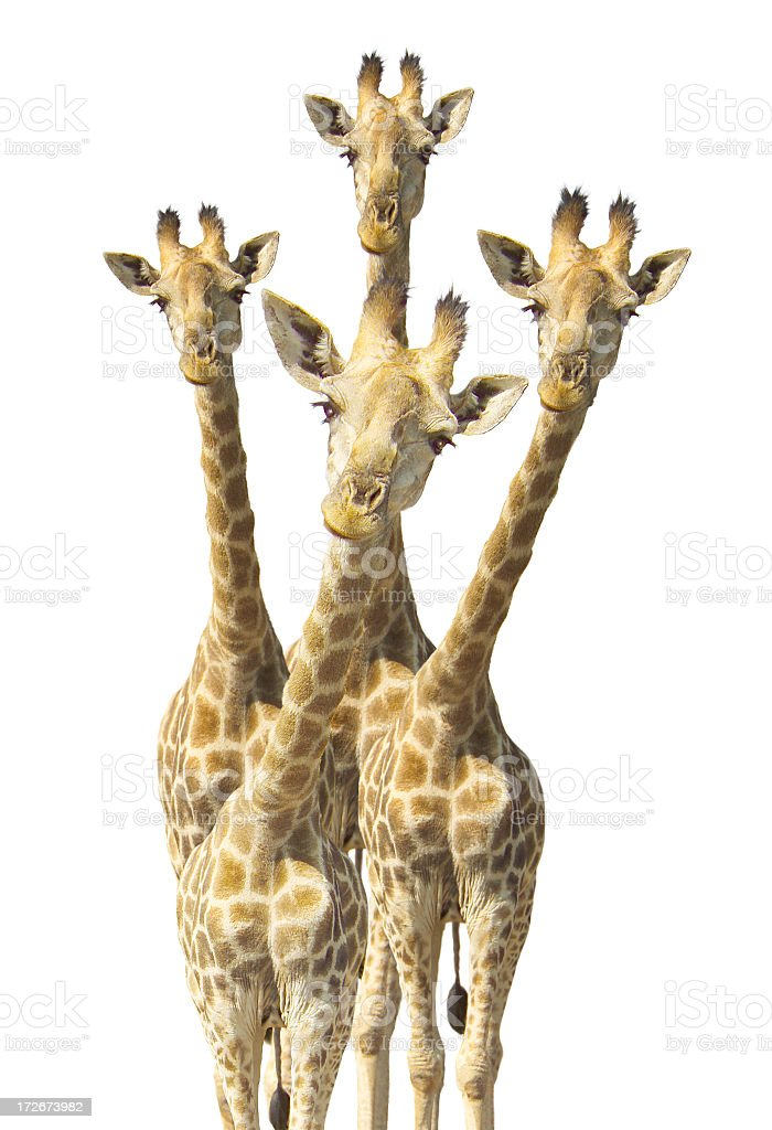 curious giraffes stock photo