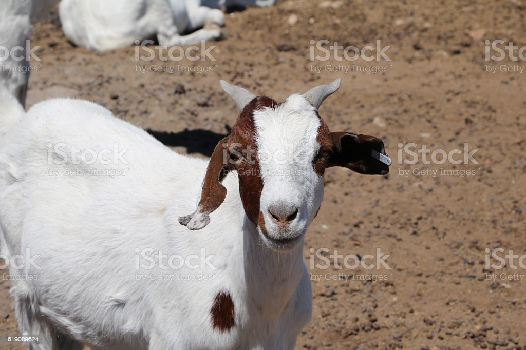 Curious goat in Namibia, Africa stock photo