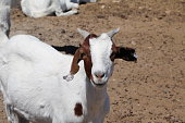 Curious goat in Namibia, Africa