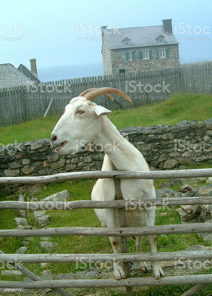 Curious Goat stock photo