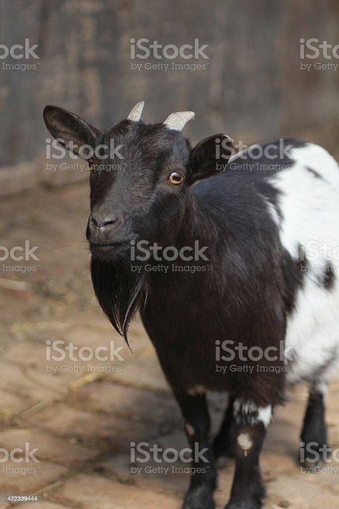 Curious Goat stock photo