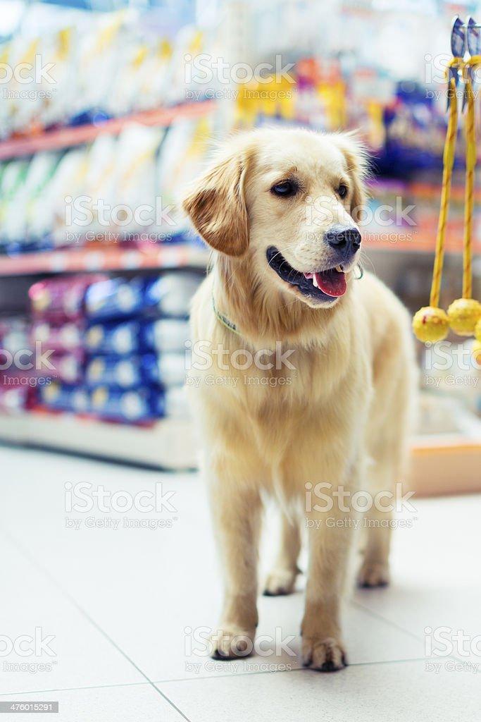 Curious golden retrier in pet store stock photo