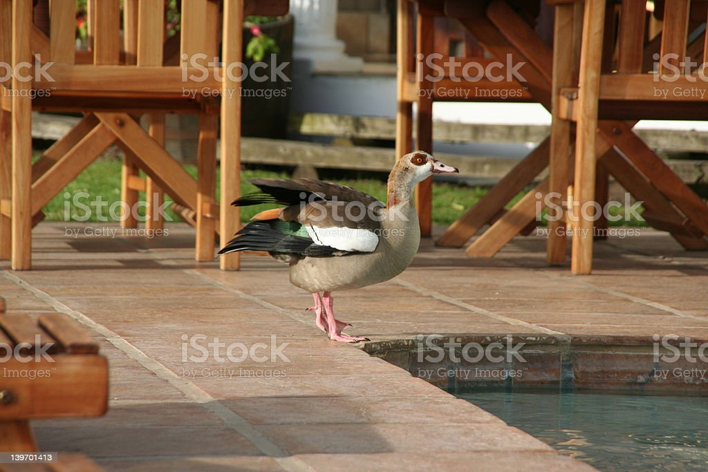 curious goose stock photo