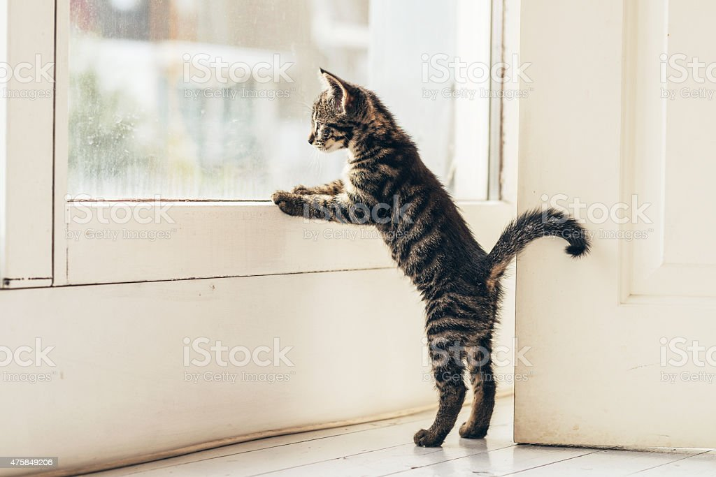 Curious Gray Kitten Looking Outside Through Window stock photo