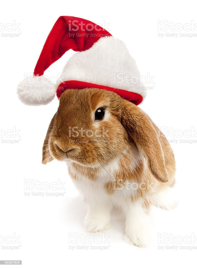 Curious Holiday Lop Rabbit stock photo